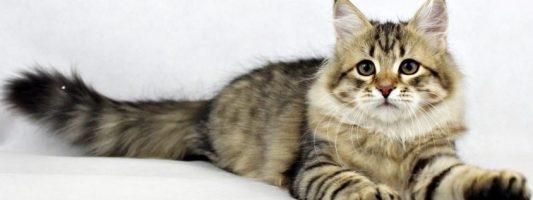 esterilizar una gata